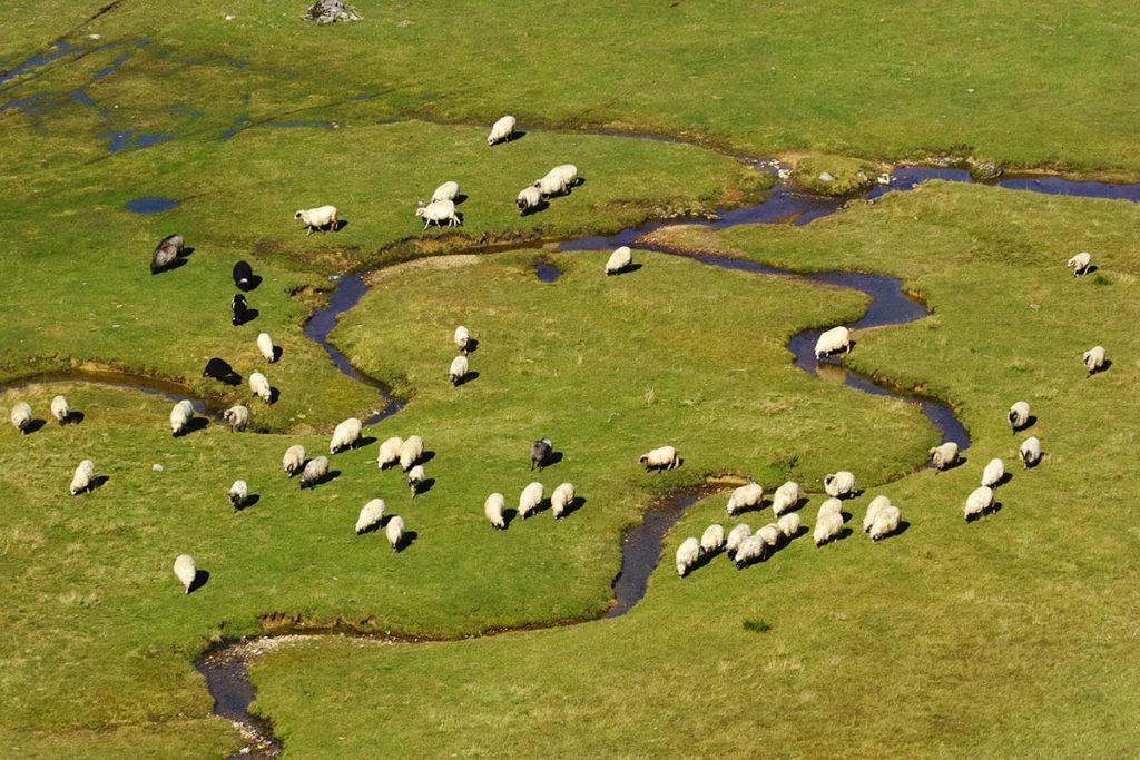 Sheep at Vranica mountain grasslands - Bosnia and Herzegovina