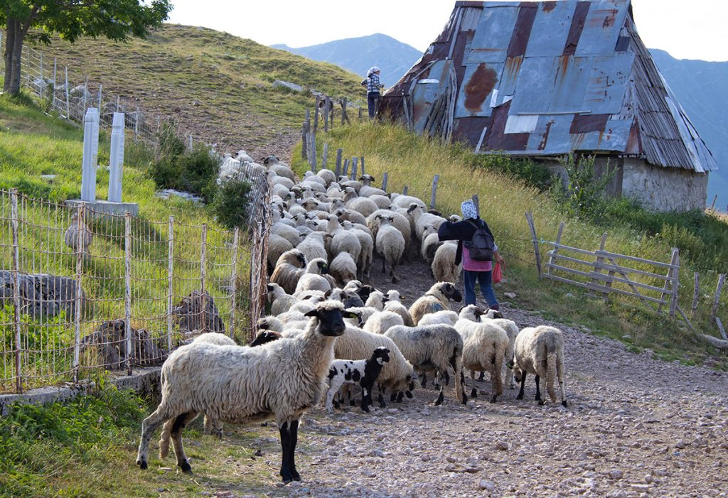 Lukomir village sheep
