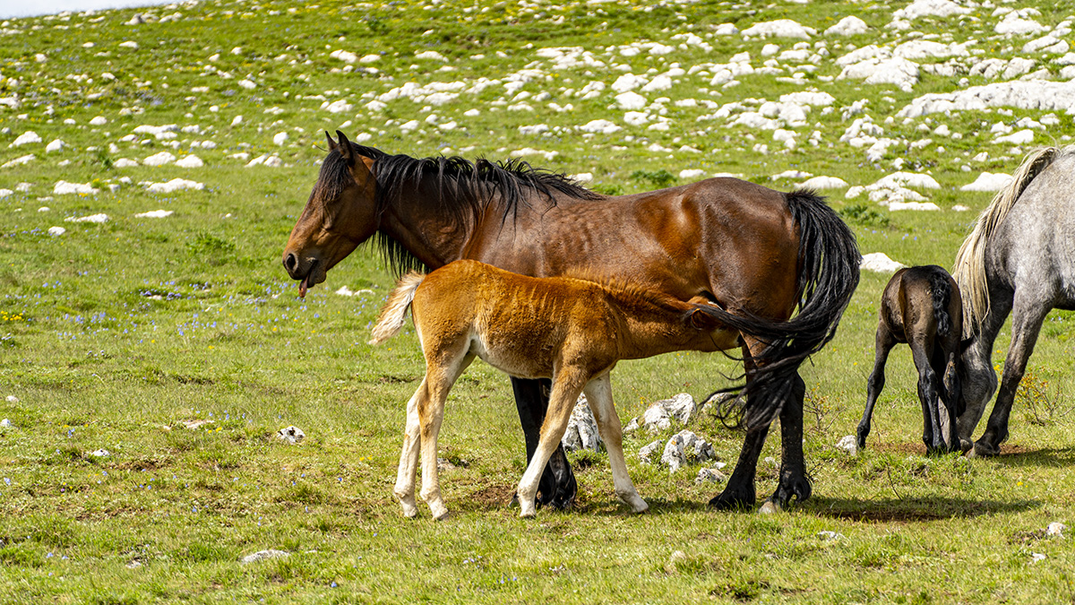 Livno, feral horses
