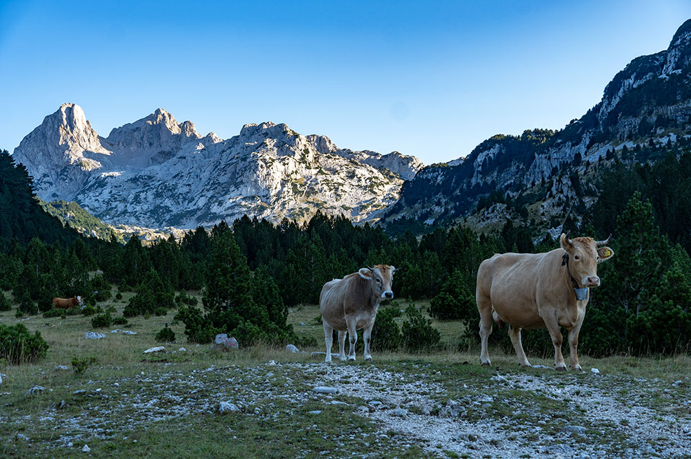 Local cows at Tisovica valley at Prenj mountain looking at the strange hikers