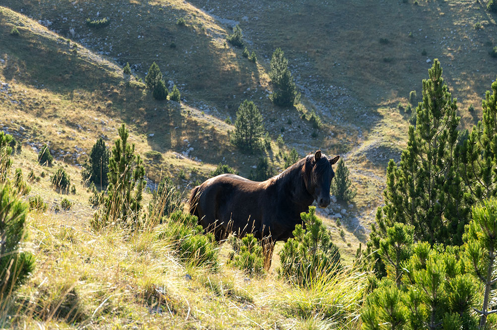 Wild horses at Prenj mountain are quite an usual thing to see