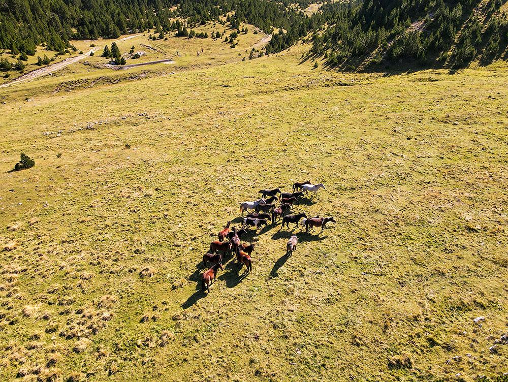 Wild horses at Tisovica valley at Prenj mountain